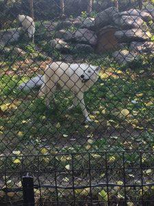 Wolf at Toledo Zoo