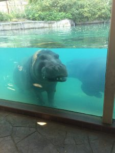 Smiling Hippo at Toledo Zoo
